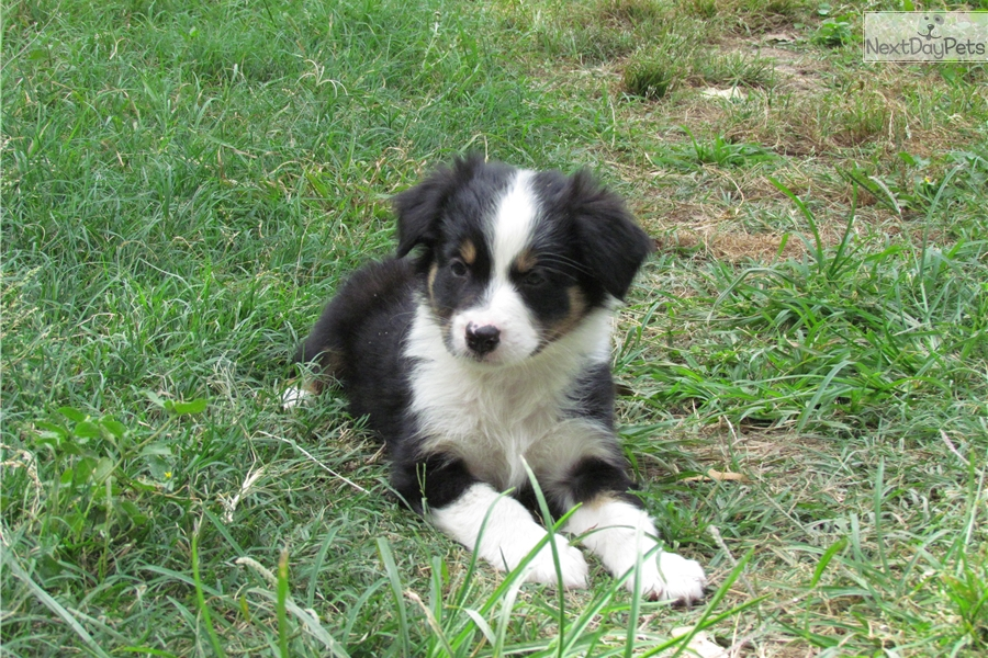 Liz Australian Shepherd Puppy For Sale Near Austin Texas