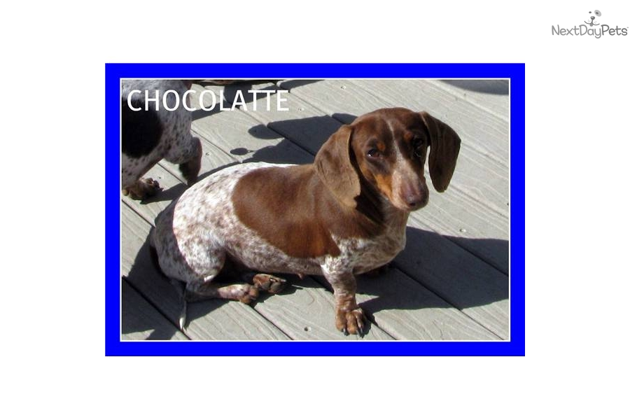 Adult dachshunds groundhounds mini not our sale