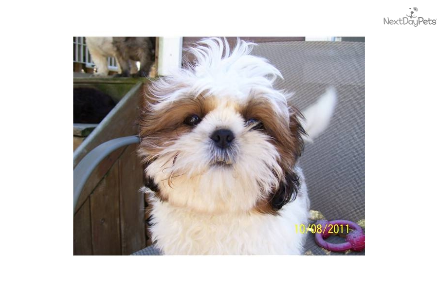 shih tzu breeders in md shih tzu for sale for 600 near eastern shore maryland 541