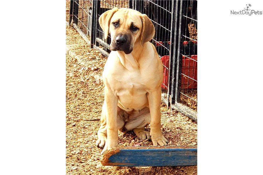 Purple F American Bandogge Mastiff Puppy For Sale Near Phoenix