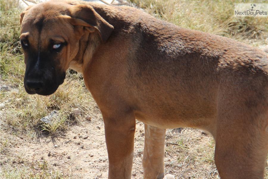 Picture of an American Bandogge Mastiff