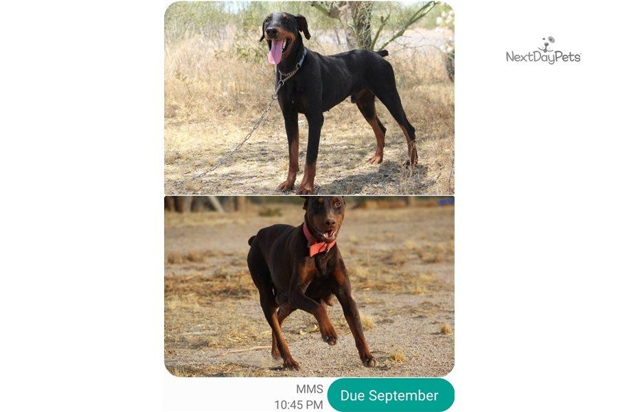 Feb Dobie F: Doberman Pinscher puppy for sale near Phoenix ...