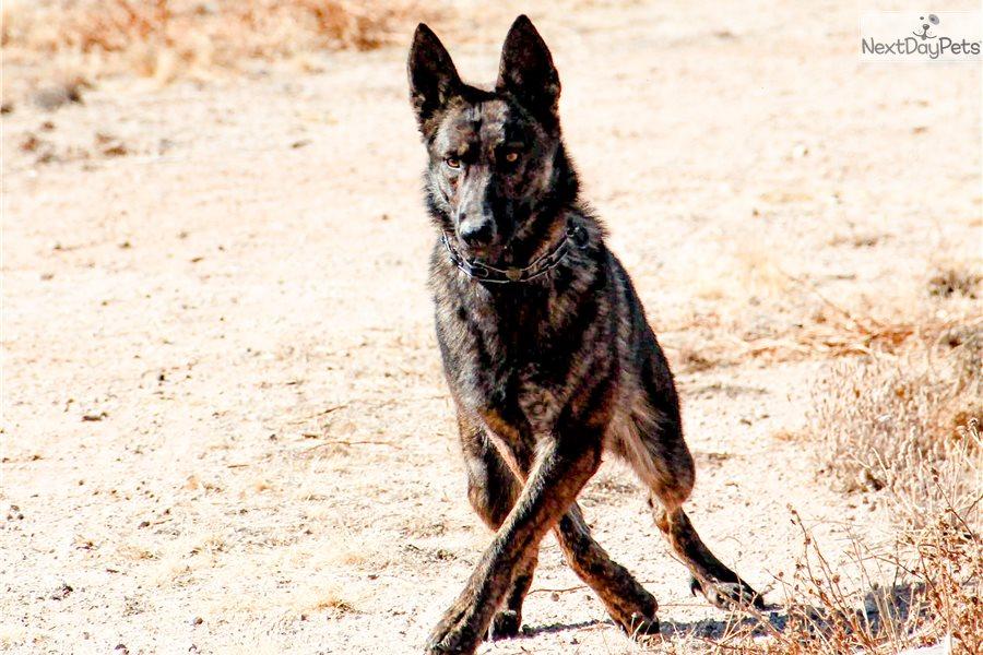 Dutchie Novdec F Dutch Shepherd Puppy For Sale Near Phoenix Arizona Bfa498e0 1231