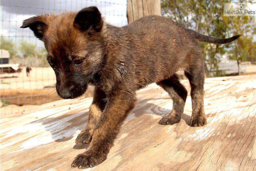 Dutchie F Dutch Shepherd Puppy For Sale Near Phoenix Arizona 078dda3e 30a1