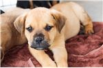 American Bandogge Mastiff for sale