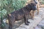 Picture of Blk Brindle M2