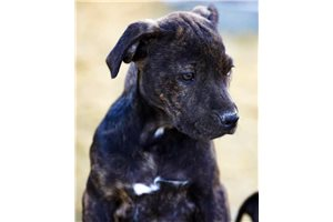 Brindle F Two | Puppy at 12 weeks of age for sale