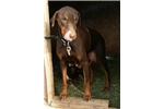 Picture of Red F dobie