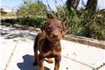Picture of Dobie M Red