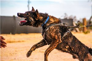 Dutch Shepherd Puppies For Sale From Phoenix Arizona Breeders
