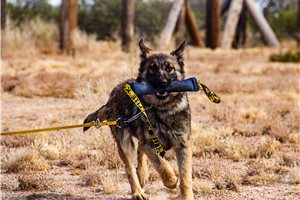 Picture of GSD sable F