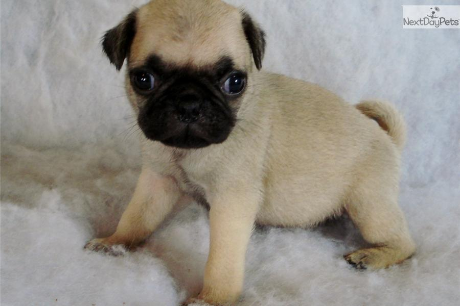 pug breeders in va u7121 1331 5006 wowkeyword com 353