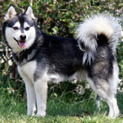 Picture of an Alaskan Klee Kai