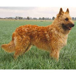 Picture of a Belgian Shepherd Laekenois