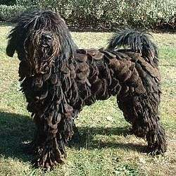 Picture of a Bergamasco