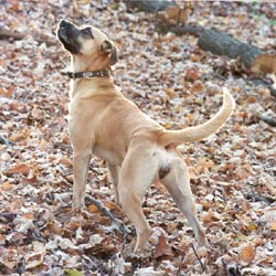 Picture of a Black Mouth Cur