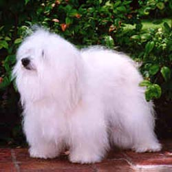 Picture of a Coton De Tulear