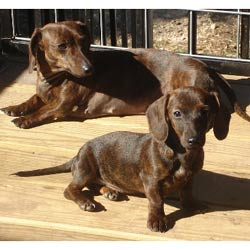 Mini Dachshund Puppies For Sale From Reputable Dog Breeders