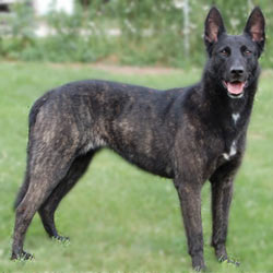 Dutch Shepherd Puppies For Sale From Reputable Dog Breeders