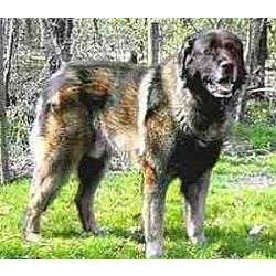 Picture of an Estrela Mountain Dog