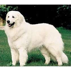 Picture of a Maremma Sheepdog