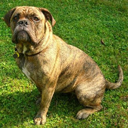 Picture of an Olde English Bulldogge