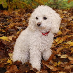 Picture of a Miniature Poodle