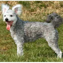 Picture of a Pumi