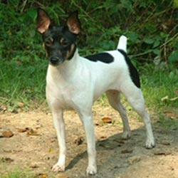 Rat Terrier Puppies For Sale From Reputable Dog Breeders