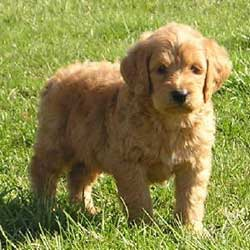 Picture of a Goldendoodle