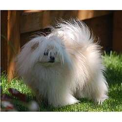 Picture of a Malti Pom - Maltipom