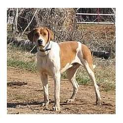 Picture of an American English Coonhound