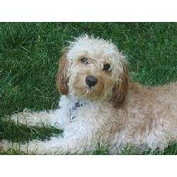 Picture of a Cavapoo