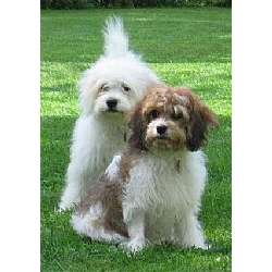 Picture of a Cavachon