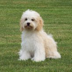 Picture of a Cockabichon