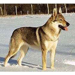 Picture of a Czechoslovakian Wolfdog