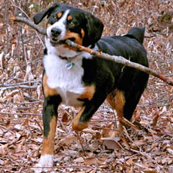 Picture of an Entlebucher Mountain Dog