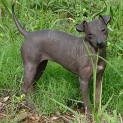Picture of an American Hairless Terrier