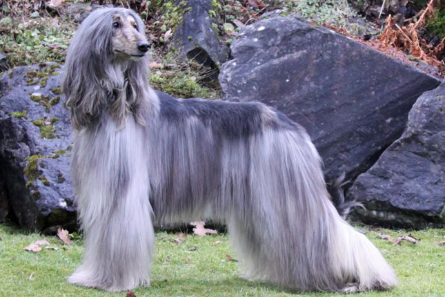 Picture of an Afghan Hound