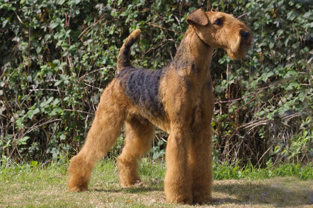 Picture of an Airedale Terrier