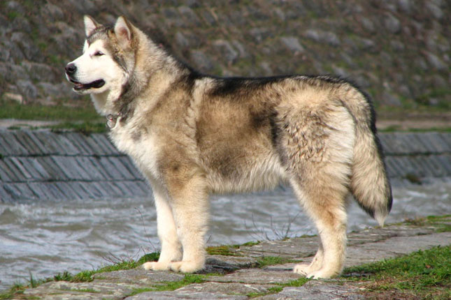 Picture of an Alaskan Malamute