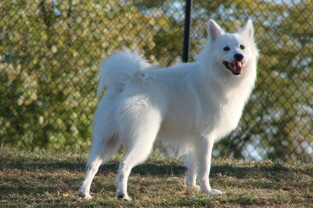 Picture of an American Eskimo Dog