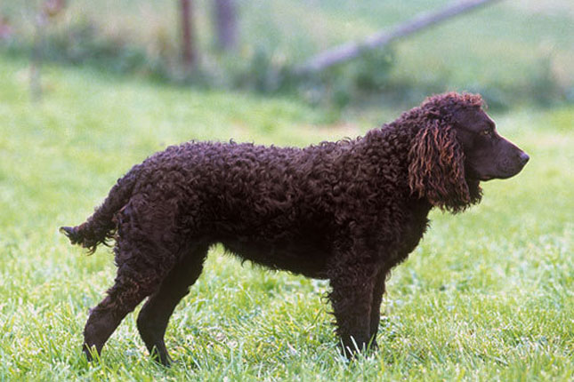 Picture of an American Water Spaniel