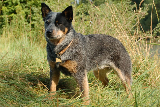 Picture of an Australian Cattle Dog/Blue Heeler