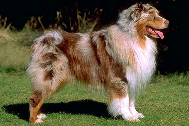 Breed Standard Picture for Australian Shepherds