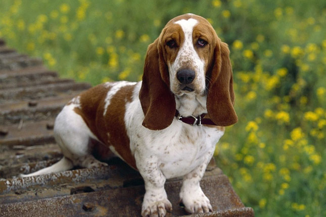 Basset Hound Puppies For Sale From Reputable Dog Breeders