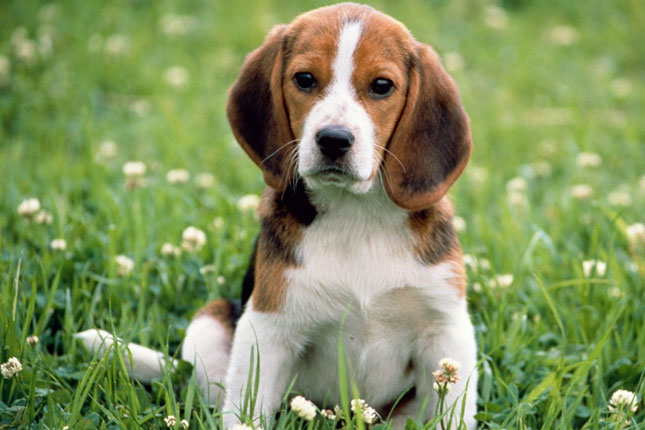 Picture of a Beagle