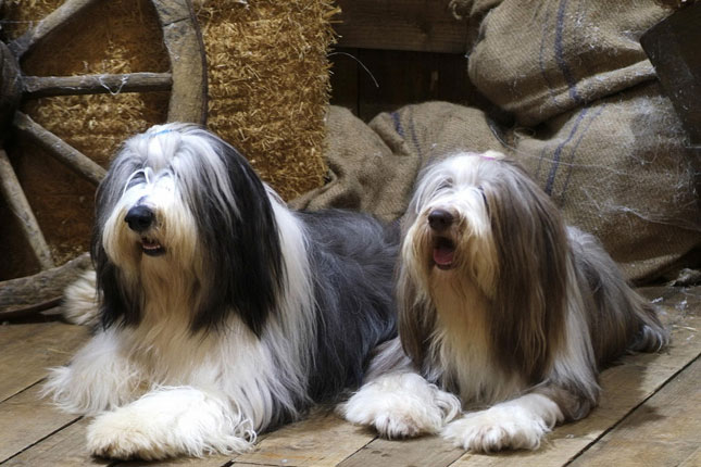 Picture of a Bearded Collie