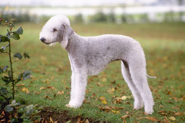 Picture of a Bedlington Terrier