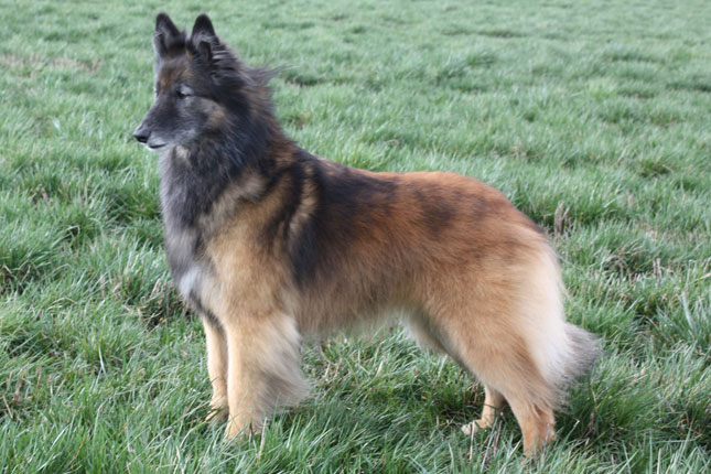 Picture of a Belgian Tervuren